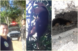 http://vnoticia.com.br/noticia/2834-guarda-civil-municipal-resgata-tamandua-no-centro-de-sfi