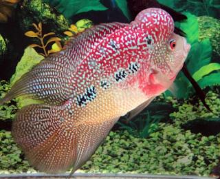 Tips Memelihara Ikan Hias di Akuarium