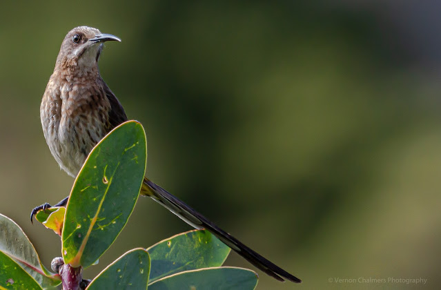 Cape Sugarbird Kirstenbosch National Botanical Garden Vernon Chalmers Photography