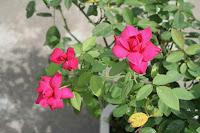 ảnh hoa hồng nhung