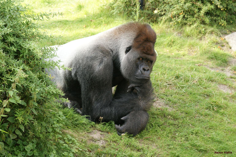 marco alpha fotografie gorilla bokito
