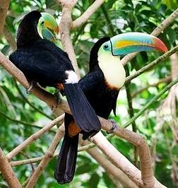 Foto de tucanes sobre la rama de un árbol
