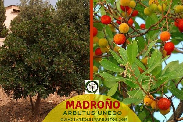 Imagen del madroño, Arbutus unedo, es un arbusto pequeño de hasta 10 metros de altura muy utilizado en la Red Ibérica de Bosques Comestibles