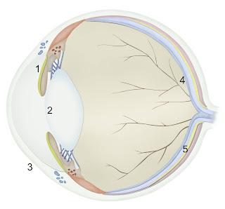 Diagrama de ilustración de ojo de gato