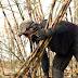 Mecanização da colheita de cana: máquinas esvaziam a capital dos boias-frias