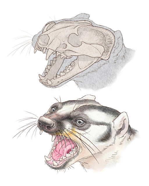 Extinct weasel relative with confounding skull likely ate meat with a side of veggies