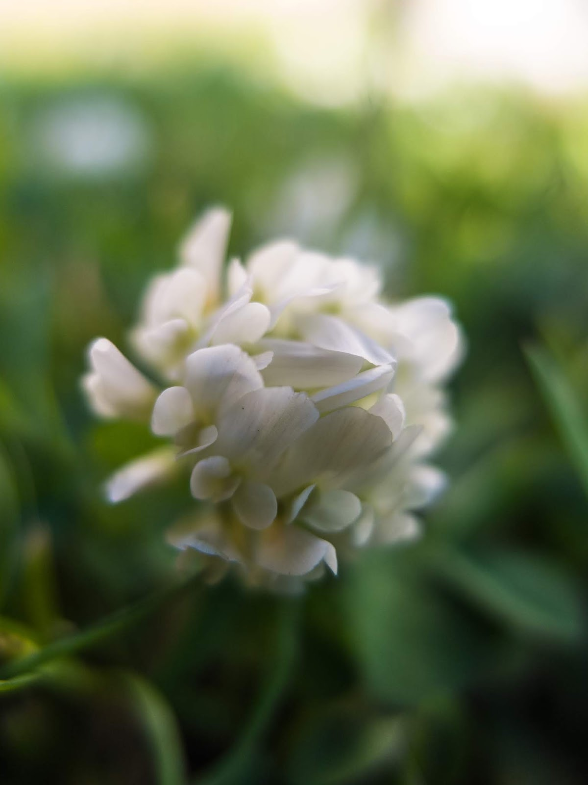A macro of tiny white clover petals photographed among grass.