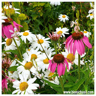 Echinacea and Daisy's at BBHQ @BionicBasil®
