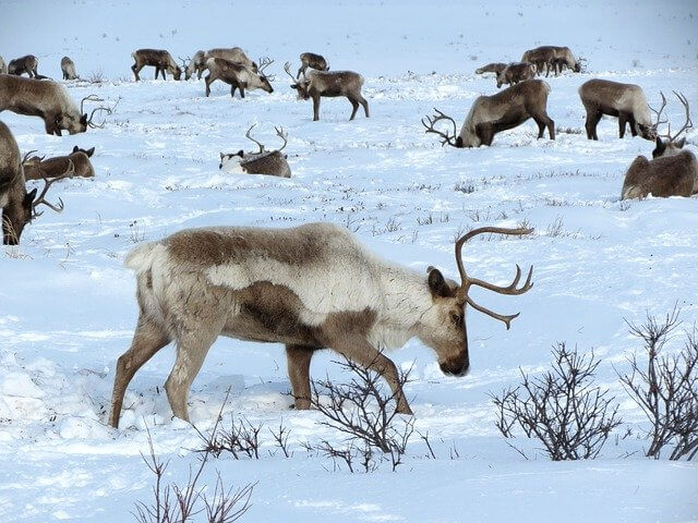 Ten Fun Facts About Reindeer. What do reindeer eat? Where do reindeer live? What are caribou? Do  reindeer fly? Do reindeer have red noses? #kellysclassroomonline