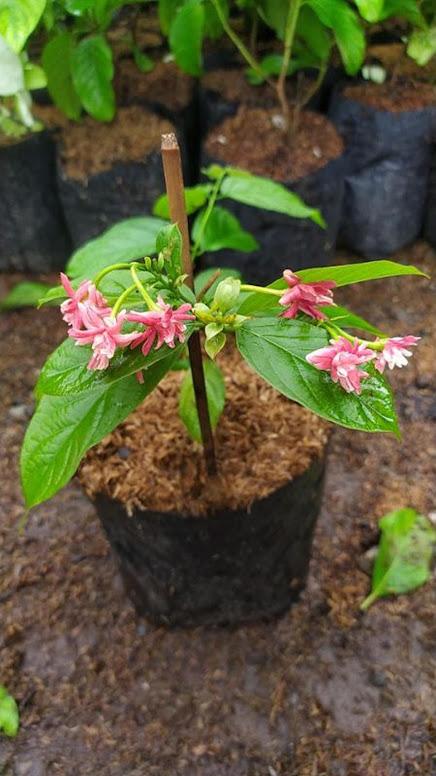 bibit bunga melati belanda holand Kalimantan Timur