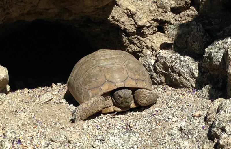 Desert Tortoise, Henderson Loop Trail, Palm Springs California, Palm Desert California, Palm Desert Hikes