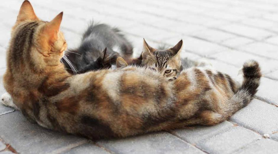 Kenali Tanda kucing Ingin kawin, hamil dan melahirkan