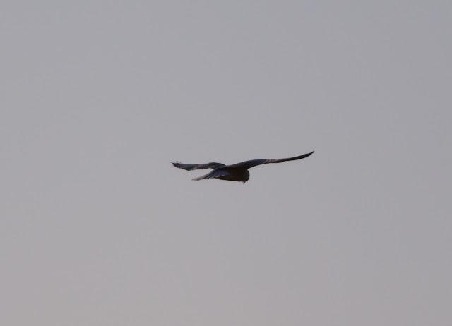 Black-shouldered Kite - Portugal