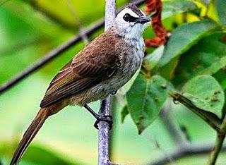 Burung Trucukan Muda Hutan
