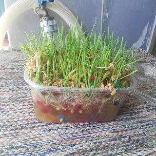 rumput kucing