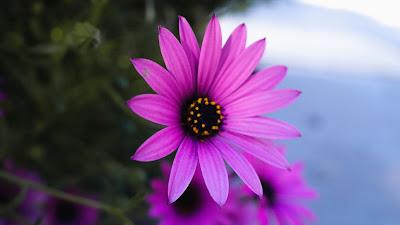 HD Wallpaper Flower Daisy, Purple, Macro