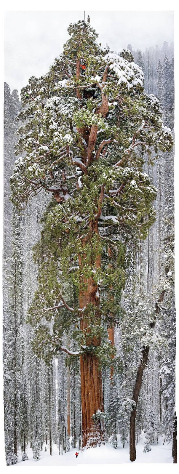 You have to scroll for a long time to see the person at the foot of the sequoia