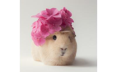 Guinea Pigs On Instagram