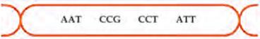 Urutan triplet kodon RNAd yang terbentuk dari sense