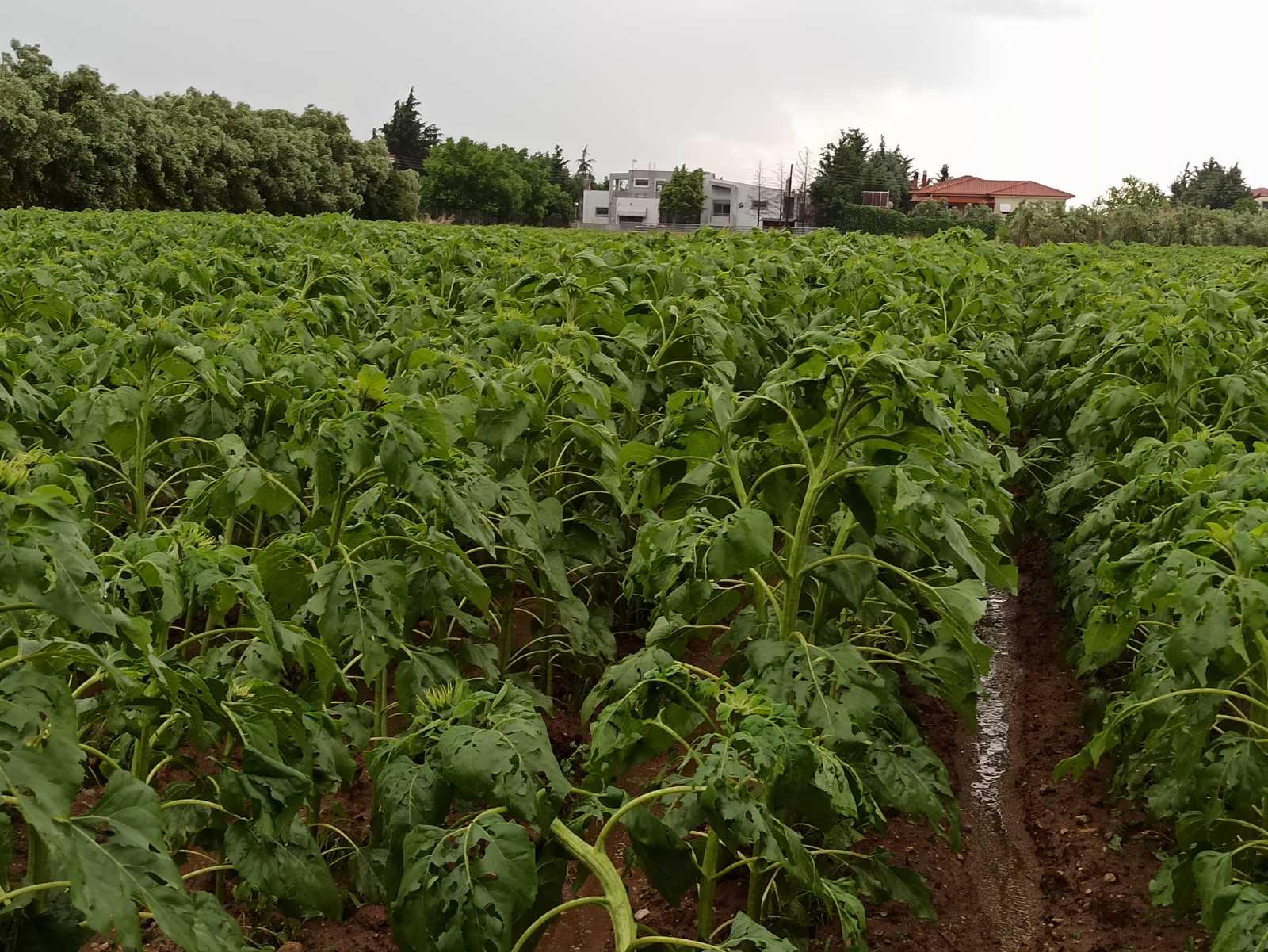 Μεγάλες καταστροφές από το χαλάζι σε καλλιέργειες στην Ξάνθη