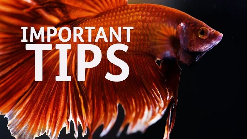 Image Betta Fish Care Tips for Dummies
