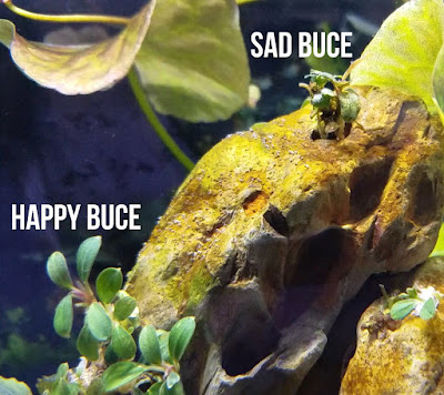 sad and happy buce in planted aquarium