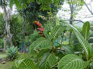 Sanchezia speciosa - Sanchézie