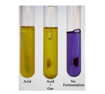 MacConkey broth (ungu) dan MacConkey broth yang ditumbuhi bakteri