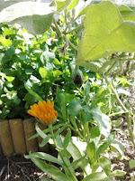 coltivare fiori nell'orto