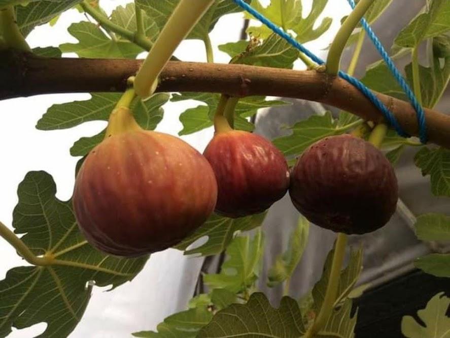 Bibit buah tin merah jumbo Khurtmani jenis tin produktif buah besar dan manis Gorontalo