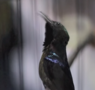 suara kolibri