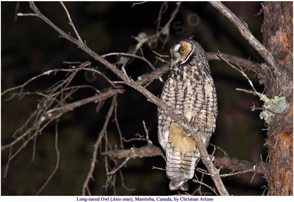 Christian Artuso: Birds, Wildlife: Nocturnal owl Surveying - photo#4