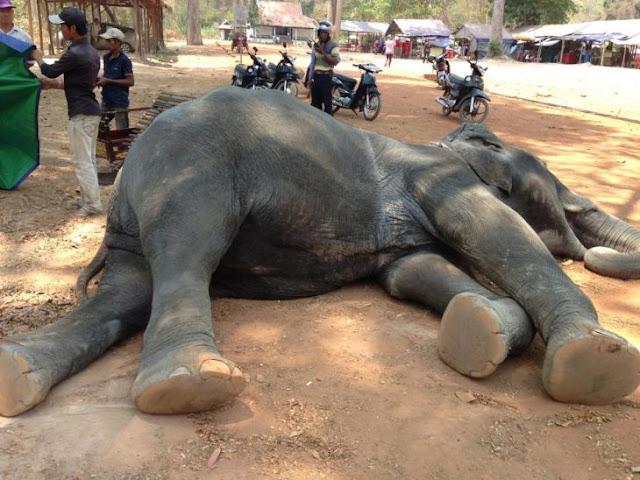 Elefante muere de cansancio luego de cargar turistas