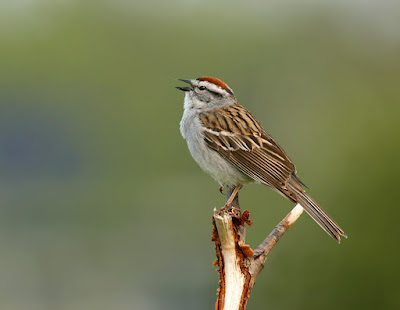 Chipping Sparrow in Newfoundland in June