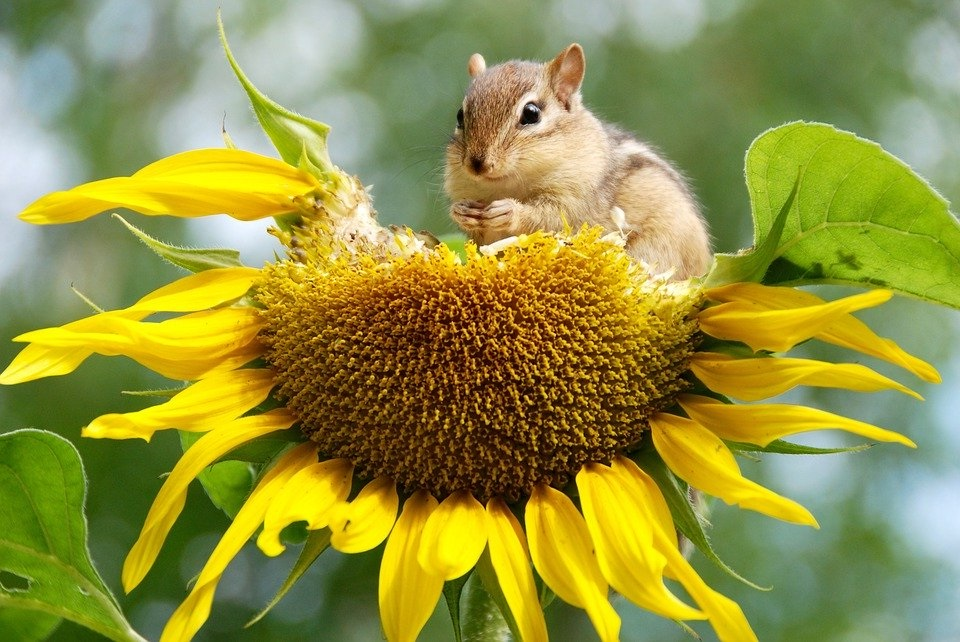 Gambar sekuntum bunga matahari