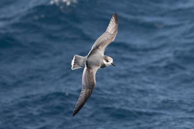 aves marinas argentinas Petrel azulado Halobaena caerulea