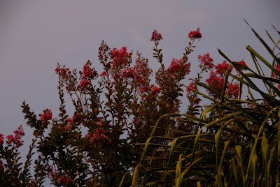 tall crepe myrtle