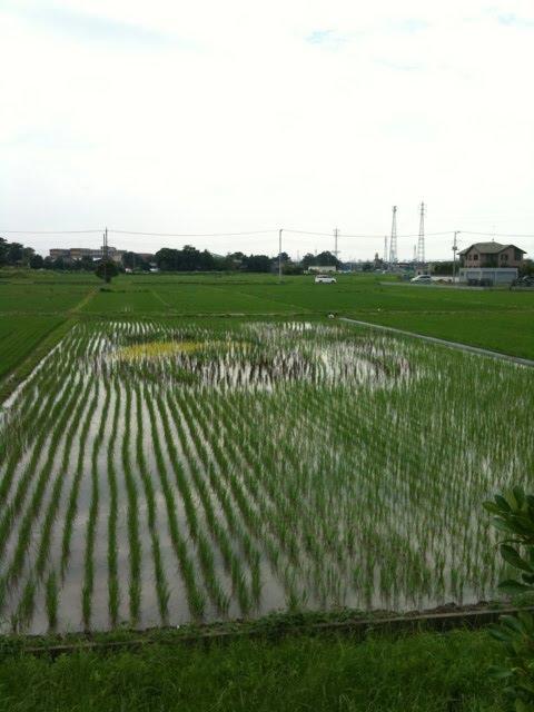 こしがや田んぼアート2010ガーヤちゃん(6/19)
