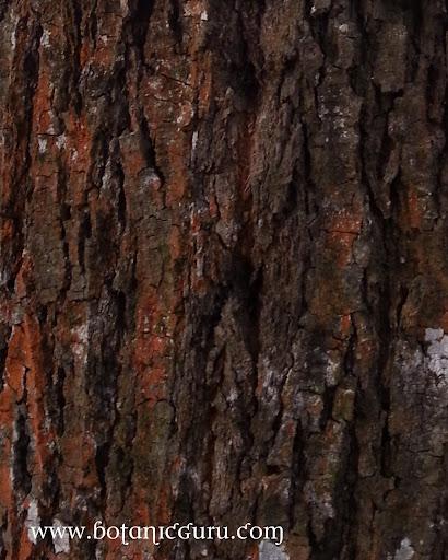 Shorea roxburghii, White Meranti, Sweet Shorea trunk
