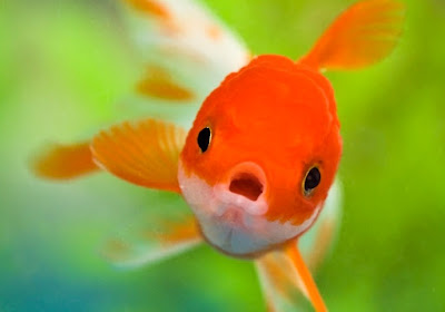 ikan air tawar koi terbagus di dunia