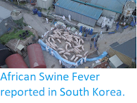 https://sciencythoughts.blogspot.com/2019/09/african-swine-fever-reported-in-south.html
