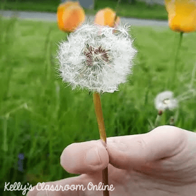 What happens when you dip a dandelion in some water? We tried the dipping dandelions TikTok challenge to find out! Fun STEM activity for all ages. #kellysclassroomonline