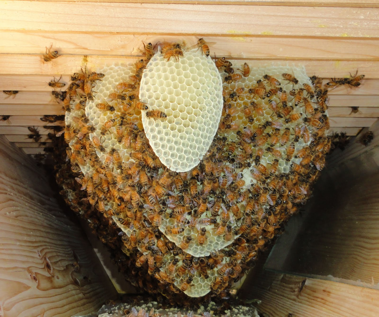 Mustang Dreams....: New Comb In The Bee Hive