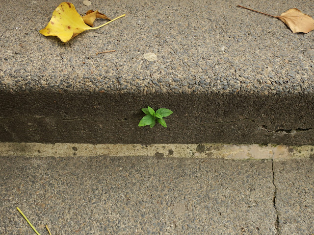 Small green plant growing through horizontal crack in steps plus dead, fallen ivy leaves. 27th June 2020