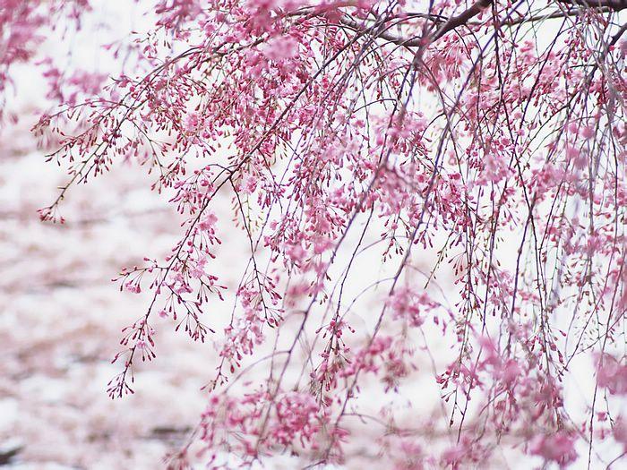 14 Anime Japanese Cherry Blossom Wallpaper Tachi Wallpaper