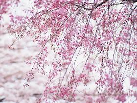 Art Japanese Cherry Blossom Wallpaper