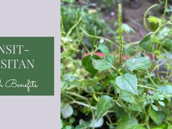 5 Surprising Health Benefits of Pepper Elder (Pansit-pansitan)