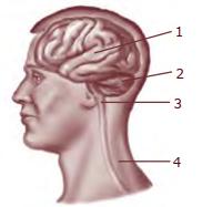 Contoh soal no 51-53 tentang sistem saraf otak
