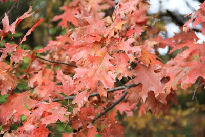 copper-scarlet oak leaves