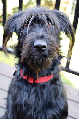 A beautiful black Terrier.